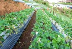 Exploração agrícola da morango no do norte de Tailândia, paisagem da exploração agrícola da morango em Tailândia fotografia de stock