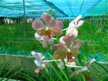 Exploração agrícola da orquídea da luz do sol de Udorn, Udon Thani Fotos de Stock Royalty Free