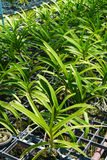 Exploração agrícola da orquídea de Vanda. Imagens de Stock