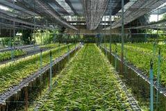 Exploração agrícola da orquídea de Vanda. Foto de Stock Royalty Free