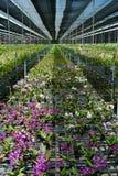 Exploração agrícola da orquídea do Dendrobium. Foto de Stock