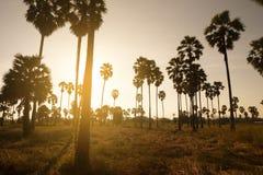 Exploração agrícola da palma de açúcar durante o por do sol na área tropical fotos de stock royalty free