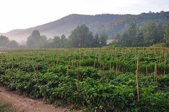 Exploração agrícola da pimenta quente Fotografia de Stock Royalty Free
