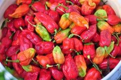 Exploração agrícola da pimenta quente Foto de Stock Royalty Free
