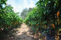 Exploração agrícola da pimenta quente Fotografia de Stock