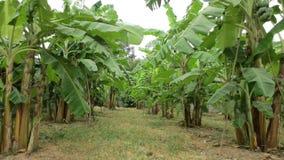 Exploração agrícola da plantação da árvore de banana Foto de Stock Royalty Free