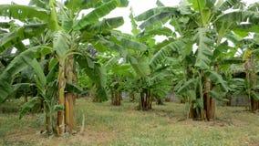 Exploração agrícola da plantação da árvore de banana Foto de Stock