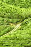 Exploração agrícola da plantação de chá imagem de stock
