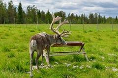Exploração agrícola da rena em Finlandia do norte, Lapland Fazer a muda do verão imagem de stock