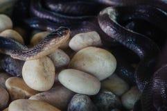A exploração agrícola da serpente da cobra em Tailândia Foto de Stock Royalty Free