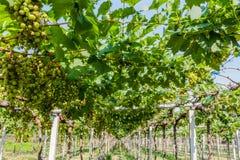 Exploração agrícola da uva. Imagens de Stock
