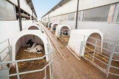 Exploração agrícola da vaca fotografia de stock royalty free
