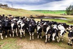 Exploração agrícola da vaca Fotografia de Stock