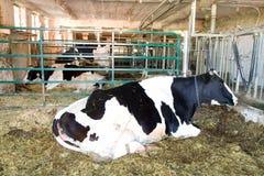 Exploração agrícola da vaca de leiteria Imagens de Stock Royalty Free