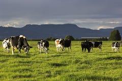 Exploração agrícola da vaca em Austrália Fotos de Stock