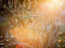 Exploração agrícola das oliveiras Fotografia de Stock Royalty Free