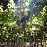 Exploração agrícola das uvas Foto de Stock Royalty Free