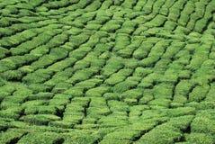 Exploração agrícola de árvore do chá Imagens de Stock Royalty Free