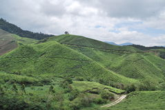 Exploração agrícola de árvore do chá Imagem de Stock