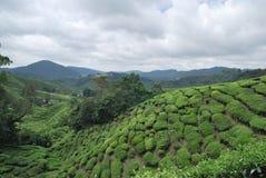 Exploração agrícola de árvore do chá Foto de Stock