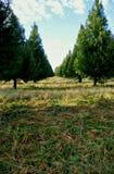 Exploração agrícola de árvore do Natal Fotos de Stock