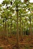 Exploração agrícola de árvores da papaia fotos de stock royalty free
