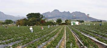 Exploração agrícola de Atrawberry foto de stock