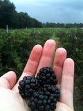 Exploração agrícola de Blackberry Foto de Stock