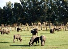Exploração agrícola de Bufale imagens de stock royalty free