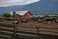 Exploração agrícola de Bull Foto de Stock Royalty Free