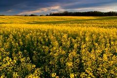 Exploração agrícola de Canola Imagem de Stock