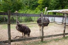 Exploração agrícola de duas avestruzes em uma pena Imagem de Stock