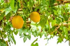 Exploração agrícola de Gac Fotos de Stock