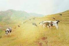 Exploração agrícola de gado Imagens de Stock