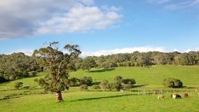 Exploração agrícola de gado Fotos de Stock Royalty Free