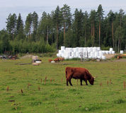 Exploração agrícola de gado das montanhas Imagens de Stock