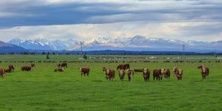 Exploração agrícola de gado de Nova Zelândia Fotografia de Stock Royalty Free
