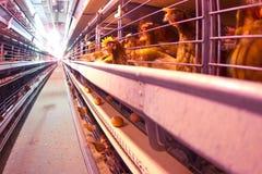 Exploração agrícola de galinha imagens de stock