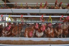Exploração agrícola de galinha Foto de Stock Royalty Free