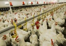 Exploração agrícola de galinha Fotos de Stock Royalty Free