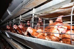 Exploração agrícola de galinha Fotos de Stock