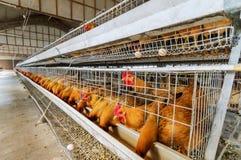 Exploração agrícola de galinha fotografia de stock royalty free
