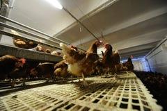 Exploração agrícola de galinha Imagem de Stock
