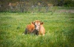 Exploração agrícola de leiteria pitoresca da vila Vaca em um prado verde Fotografia de Stock