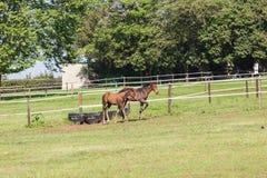 Exploração agrícola de parafuso prisioneiro do potro do potro do cavalo Imagem de Stock Royalty Free
