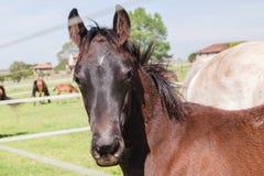 Exploração agrícola de parafuso prisioneiro do potro do potro do cavalo Fotos de Stock