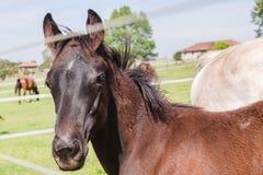 Exploração agrícola de parafuso prisioneiro do potro do potro do cavalo Foto de Stock Royalty Free