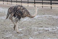 Exploração agrícola de passeio da avestruz da avestruz nova Fotografia de Stock