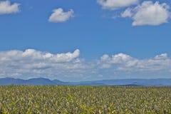 Exploração agrícola de Pineaple em Torres Imagem de Stock