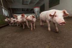Exploração agrícola de porco fotos de stock